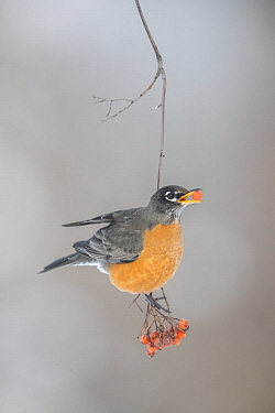 American Robin (Turdus migratorius) feeding on Mountain Ash (Sorbus sp) berries in winter, Troy, Montana