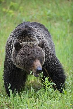 Brown Bear (Ursus arctos) male grazing, western Canada