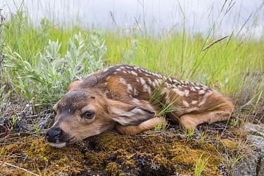 Mule Deer (Odocoileus hemionus) newborn fawn remaining motionless to hide, central Montana