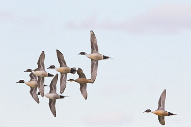 Northern Pintail (Anas acuta) males courting female in courtship flight, central Montana