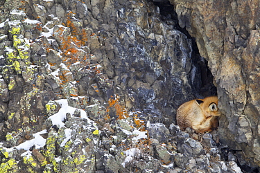 Red Fox (Vulpes vulpes) sleeping at cave entrance on cliff in winter, Yellowstone National Park, Wyoming