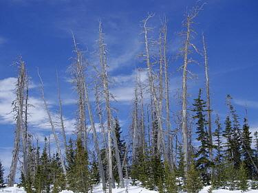 Mountain Pine Beetle (Dendroctonus ponderosae)ákilled conifer trees, Cedar Breaks National Monument, Utah