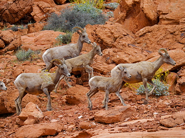 Desert Bighorn Sheep (Ovis canadensis nelsoni) mothers and lambs, Valley of Fire State Park, Nevada