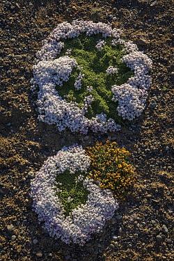 Cushion Plant (Junellia toninii) pair flowering, Los Glaciares National Park, Andes, Patagonia, Argentina