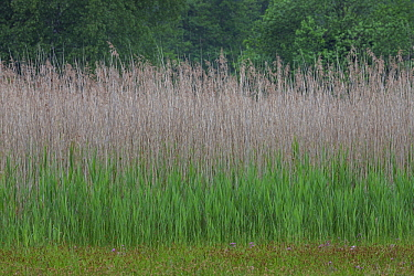 Common Reed (Phragmites australis) grasses in spring, Germany
