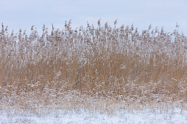 Common Reed (Phragmites australis) grasses in winter, Germany