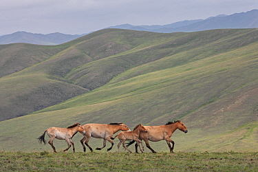 Przewalski's Horse (Equus ferus przewalskii) mares running with foals in steppe, Hustai National Park, Mongolia