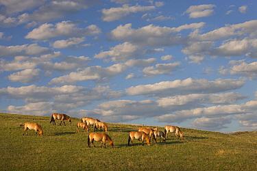 Przewalski's Horse (Equus ferus przewalskii) herd grazing in steppe, Hustai National Park, Mongolia