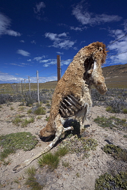 Guanaco (Lama guanicoe), dead after being caught in wire fence, Patagonia, Chile