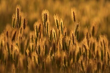 Squirreltail Barley (Hordeum jubatum) grasses, Patagonia, Argentina