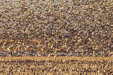 Snow Goose (Chen caerulescens) flock taking flight, North America
