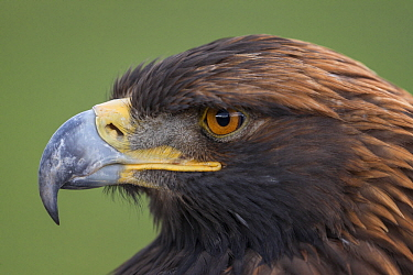 Golden Eagle (Aquila chrysaetos), Mongolia