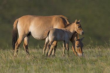 Przewalski's Horse (Equus ferus przewalskii) mare grazing with foal, Hustai National Park, Mongolia