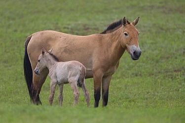 Przewalski's Horse (Equus ferus przewalskii) mare with foal, Hustai National Park, Mongolia