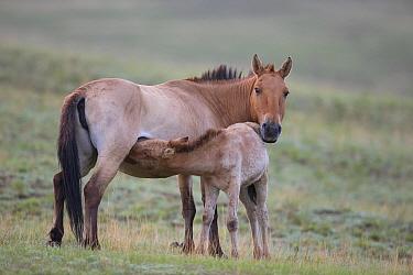 Przewalski's Horse (Equus ferus przewalskii) mare nursing foal, Hustai National Park, Mongolia