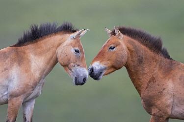 Przewalski's Horse (Equus ferus przewalskii) stallion and mare, Hustai National Park, Mongolia