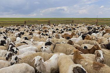 Domestic Goat (Capra hircus) flock in corral, Mongolia
