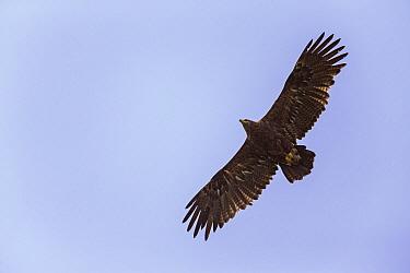 Steppe Eagle (Aquila nipalensis) flying, eastern Mongolia