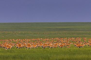 Goitered Gazelle (Gazella subgutturosa) herd in steppe, Mongolia