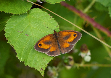 Gatekeeper (Pyronia tithonus) butterfly, Sussex, England