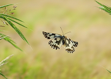 Marbled White (Melanargia galathea) butterfly flying, Sussex, England