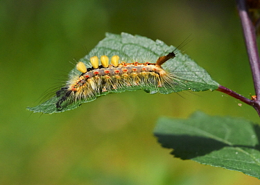 Rusty Tussock Moth (Orgyia antiqua) caterpillar, Sussex, England