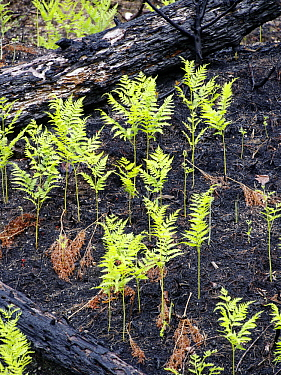 Ferns emerging from charred forest floor after recent fire, Nova Scotia, Canada