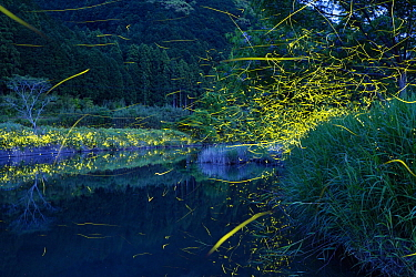 Japanese Firefly (Luciola cruciata) group flying along river at night, Shikoku, Japan