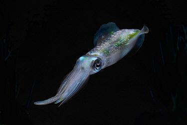 Bigfin Reef Squid (Sepioteuthis lessoniana), Izu Islands, Japan