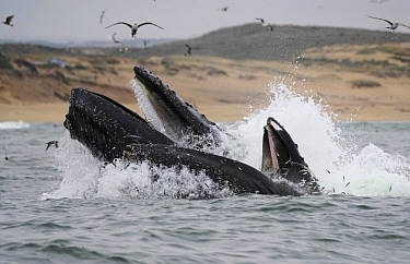 Humpback Whale (Megaptera novaeangliae) pair gulp feeding and gulls hunting Northern Anchovy (Engraulis mordax), Monterey Bay, California