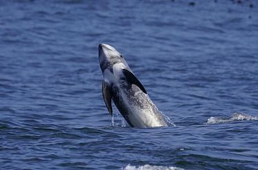 Risso's Dolphin (Grampus griseus) breaching, Monterey Bay, California