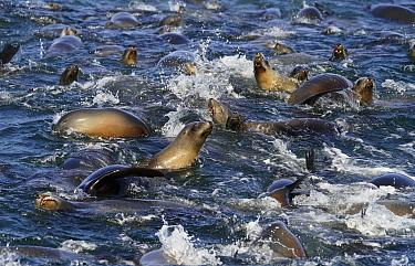 California Sea Lion (Zalophus californianus) group hunting Northern Anchovy (Engraulis mordax), Monterey Bay, California