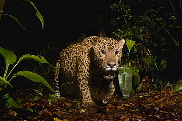Jaguar (Panthera onca) male in rainforest at night, Coastal Jaguar Conservation Project, Tortuguero National Park, Costa Rica