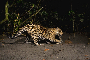 Jaguar (Panthera onca) female feeding on Green Sea Turtle (Chelonia mydas) carcass at night, Coastal Jaguar Conservation Project, Tortuguero National Park, Costa Rica