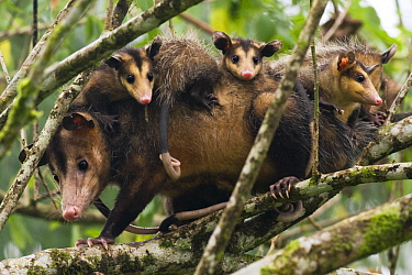 Common Opossum (Didelphis marsupialis) mother with joeys in tree, Tortuguero National Park, Costa Rica