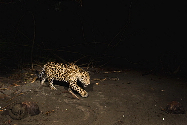 Jaguar (Panthera onca) male yearling cub on beach at night, Coastal Jaguar Conservation Project, Tortuguero National Park, Costa Rica