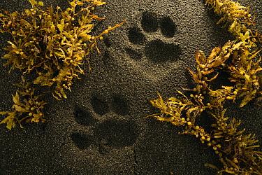 Jaguar (Panthera onca) tracks on beach, Coastal Jaguar Conservation Project, Tortuguero National Park, Costa Rica