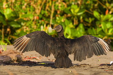 American Black Vulture (Coragyps atratus) basking, Tortuguero National Park, Costa Rica