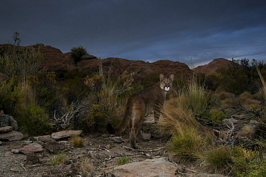 Mountain Lion (Puma concolor) in dry puna during storm, Abra Granada, Andes, northwestern Argentina