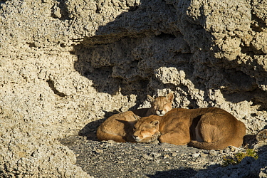 Mountain Lion (Puma concolor) mother and six month old female cub sleeping in shelter of calcium deposits, Sarmiento Lake, Torres del Paine National Park, Patagonia, Chile