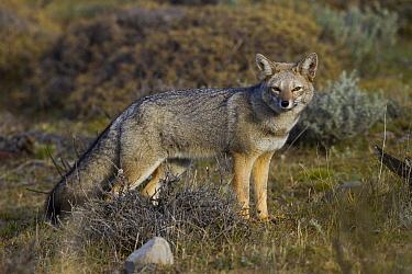 South American Gray Fox (Lycalopex griseus), Torres del Paine National Park, Patagonia, Chile
