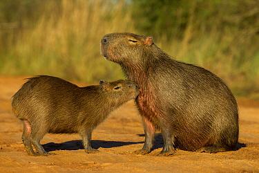Capybara (Hydrochoerus hydrochaeris) juvenile smelling mother, Ibera Provincial Reserve, Ibera Wetlands, Argentina