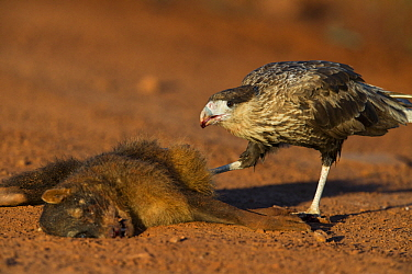 Southern Caracara (Caracara plancus) sub-adult feeding on Crab-eating Fox (Cerdocyon thous) roadkill carcass, Ibera Provincial Reserve, Ibera Wetlands, Argentina