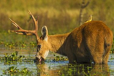 Marsh Deer (Blastocerus dichotomus) buck feeding on aquatic plants in marsh with Cattle Tyrant (Machetornis rixosus) on back, Ibera Provincial Reserve, Ibera Wetlands, Argentina