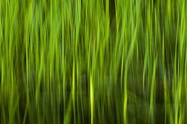 Reeds in marsh, Ibera Provincial Reserve, Ibera Wetlands, Argentina