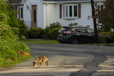 Coyote (Canis latrans) sub-adult smelling road in neighborhood, Gloucester, Cape Ann, eastern Massachusetts