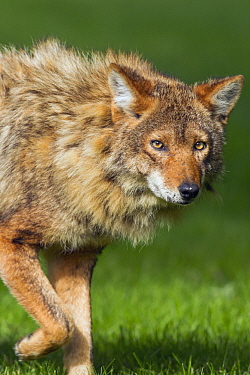 Coyote (Canis latrans) male shedding winter coat, Gloucester, Cape Ann, eastern Massachusetts