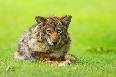 Coyote (Canis latrans) male, Gloucester, Cape Ann, eastern Massachusetts