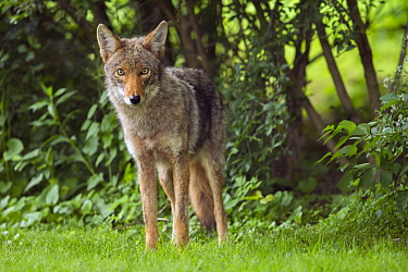 Coyote (Canis latrans) sub-adult, Gloucester, Cape Ann, eastern Massachusetts