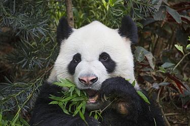 Giant Panda (Ailuropoda melanoleuca) feeding on bamboo, native to China